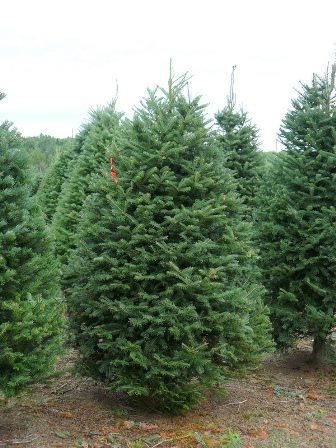 El autor recomienda que si va a comprar un árbol de Navidad natural se asegure que haya sido cultivado sin pesticidas. (tomado de creteplant.com)