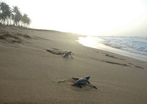La solicitud de protección busca que el Corredor Ecológico sea designado como un hábitat crítico para el tinglar. (foto por Sherlee Blanco, via Flickr)
