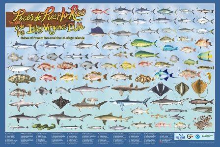 Nuevo libro y afiche de peces de puerto rico atabey for Especies de peces