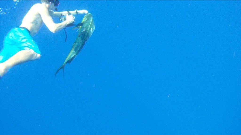 Pez dorado que estuvo siendo monitoreado durante 30 días. El pez recorrió una distancia de 520 millas desde Bahamas hasta San Juan. (fotos suministradas por Sea Grant)