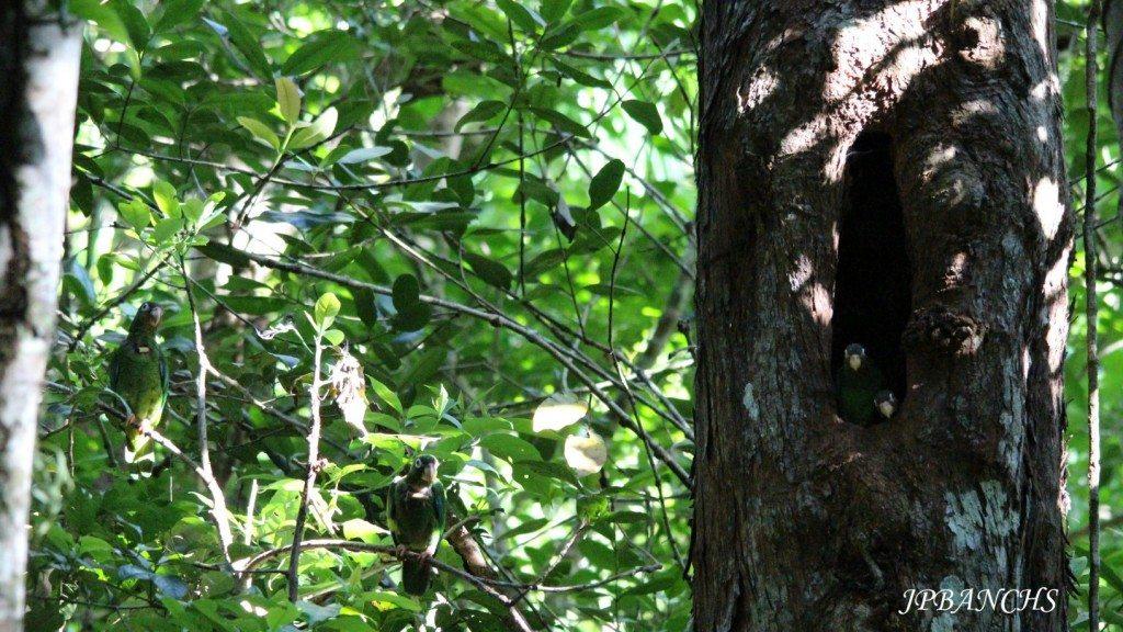 En la cavidad se observan los polluelos y a la izquierda en las ramas los papás. (fotos suministradas por el DRNA)