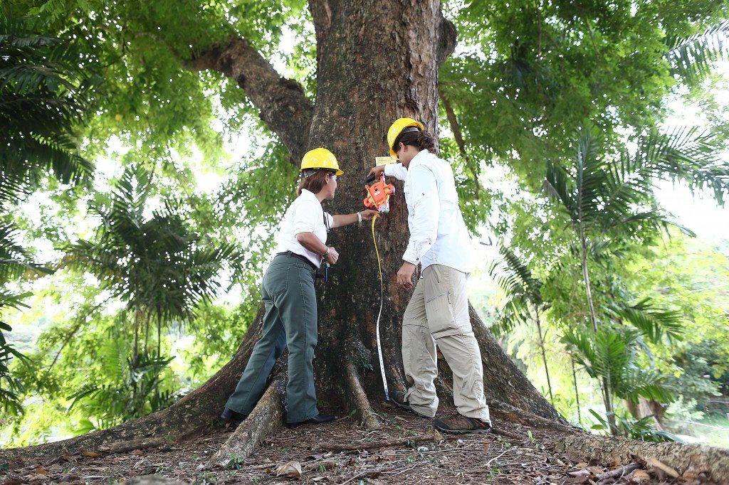Un Árbol Campeón es aquel que por sus medidas de diámetro de tronco, altura, y extensión de la copa se identifica como el más grande de su especie de todo el país. (foto por Jos R. Madera)