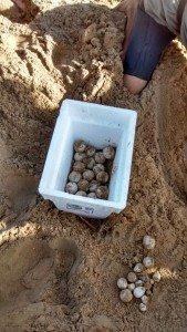 El tinglar depositó cerca de un centenar de huevos a las 3:00 de la madrugada. (foto suministrada por el DRNA)