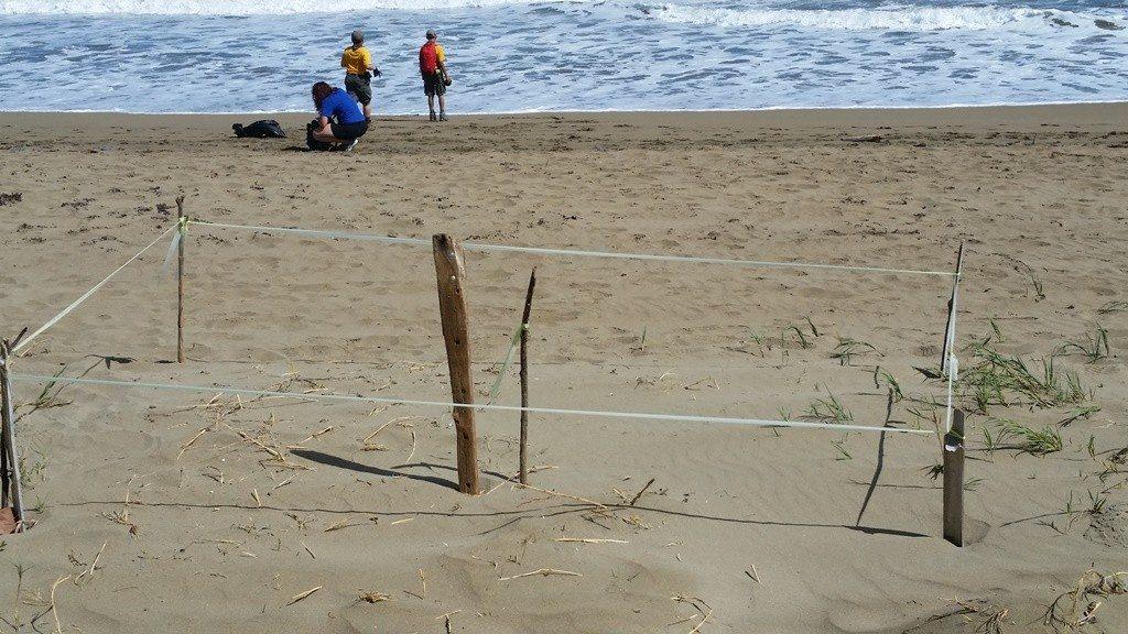 Nido de tinglar protegido, en la playa Único, en Dorado.