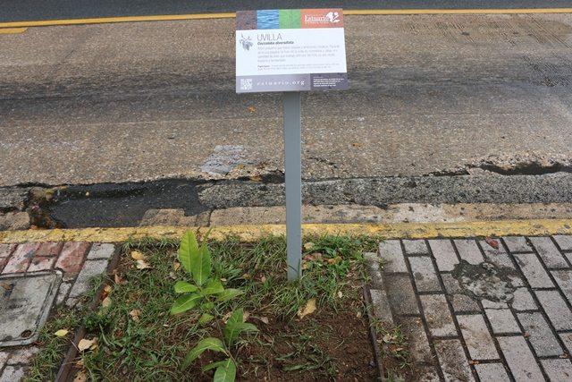 El Programa del Estuario de la Bahía de San Juan (PEBSJ) instaló 68 letreros que educan sobre la uvilla, el mangle botón, la quiebrahacha o el indio, entre otros, y ha sembrado 156 de estas especies entre Hato Rey y Santurce. (fotos suministradas por el PEBSJ)
