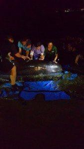 Personal del DRNA atendiendo la ballena. (fotos suministradas)