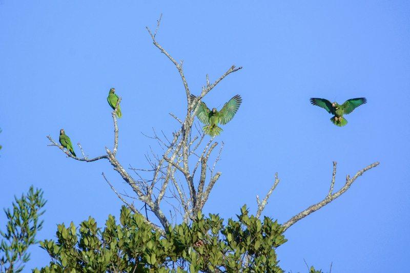 Cotorras puertorriqueñas en estado silvestre vuelan por los alrededores del Bosque Estatal de Río Abajo, en Utuado. (foto por Tanya Martínez)