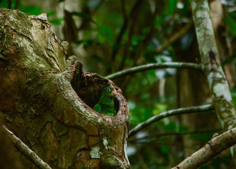 Se observan cotorras puertorriqueñas en un nido en estado silvestre por el Bosque estatal de Río Abajo, en Utuado. (foto por Tanya Martínez)
