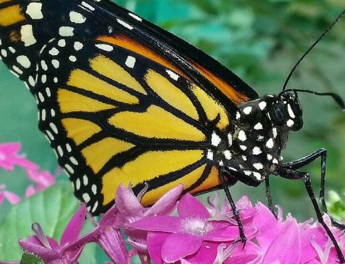 Human activities: Is the Monarch butterfly threatened?